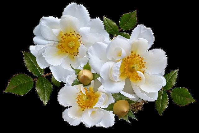 FreePhotoRhododendronFlowerBlossomAzaleaShrubMax