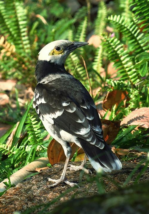 黑领椋鸟, Bird, Wildlife, Nature, Wings, Animal, Wild, Beak