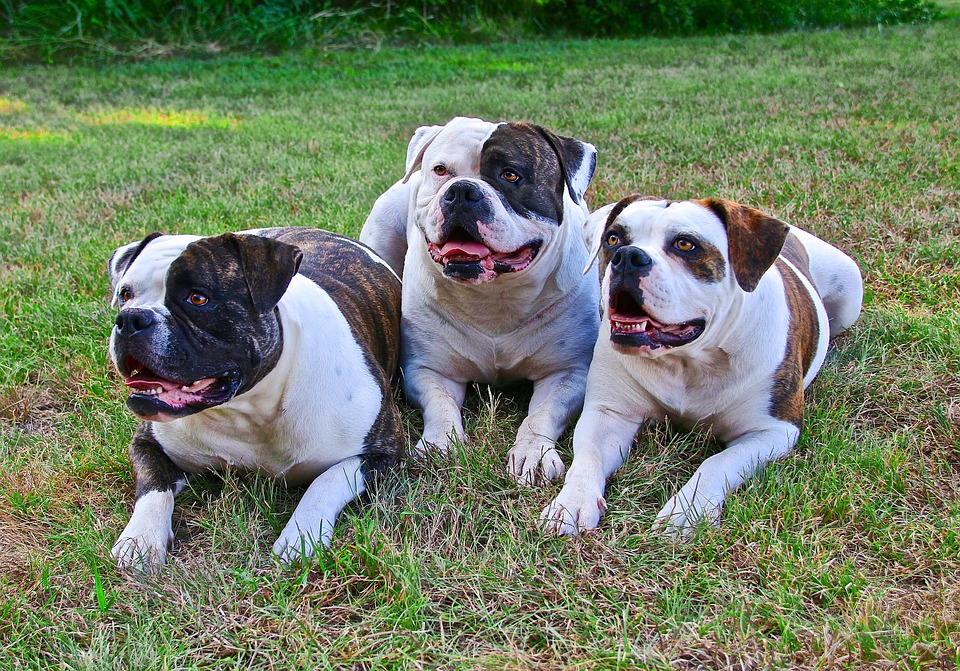 American Bulldogs, 3 Dogs, Dogs Laying Down