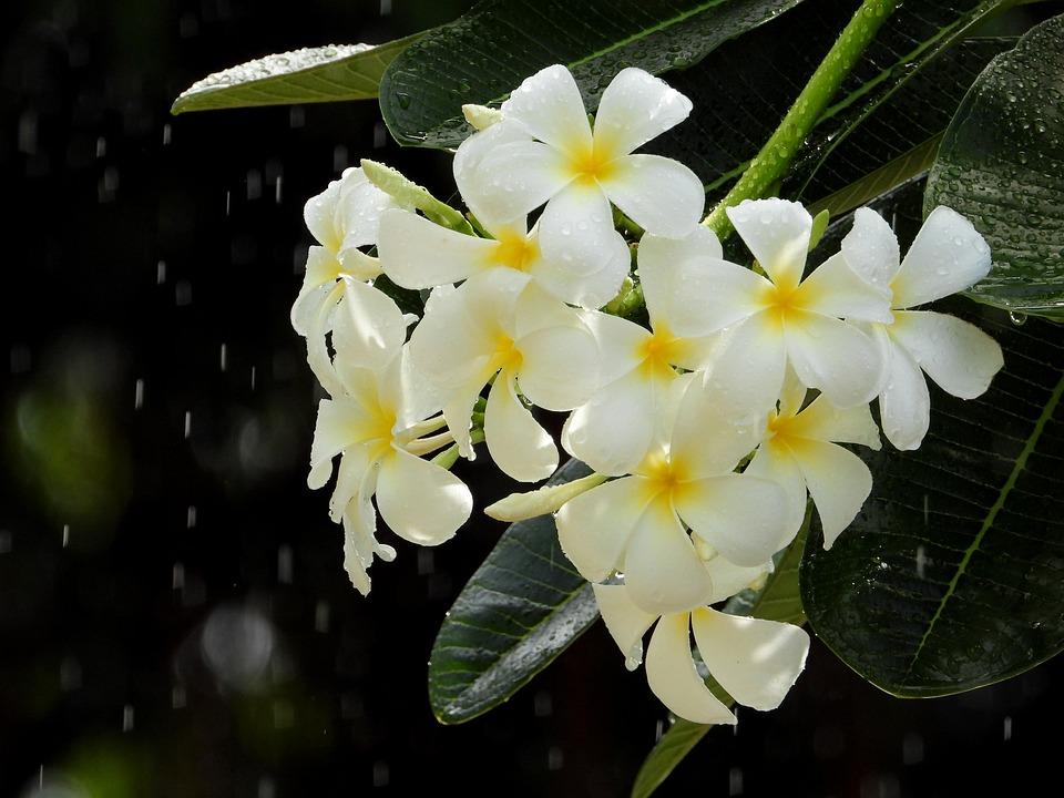 Porcelain Flowers, White, Pistil Yellow, 5 Wings