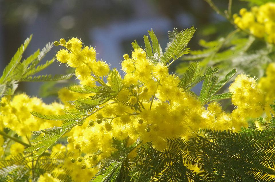 Free photo 8 march mimosa yellow flower yellow flowers max pixel mimosa flowers yellow 8 march yellow flower mightylinksfo