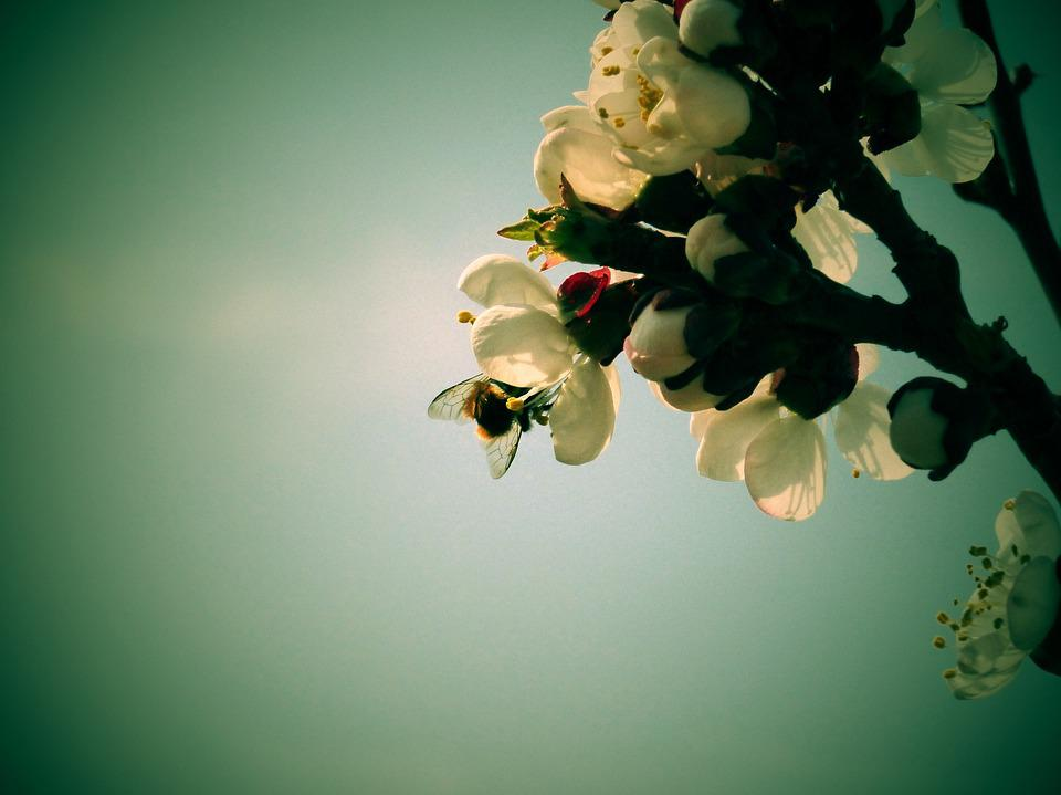 Flowers, Apricot, Bee, A Branch, Spring