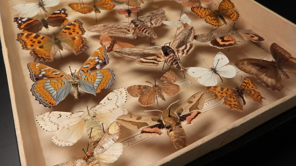 A Collection Of Butterflies, Butterflies