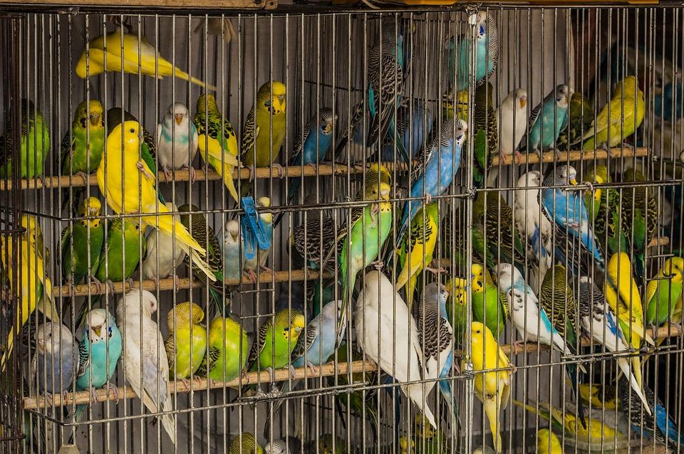 Cage, Parrots, Birds, Many, A Flock Of, Market Pitici