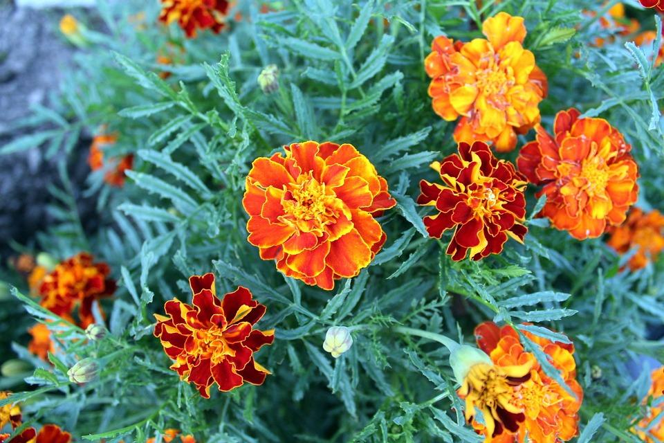 Flower, Garden, A Garden Plant, Home Garden