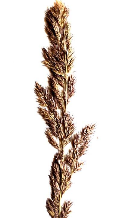 A Grass, Spikelet, White