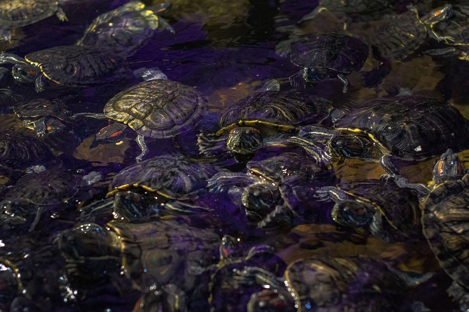 Turtle, Tortoise, Water, A Lot
