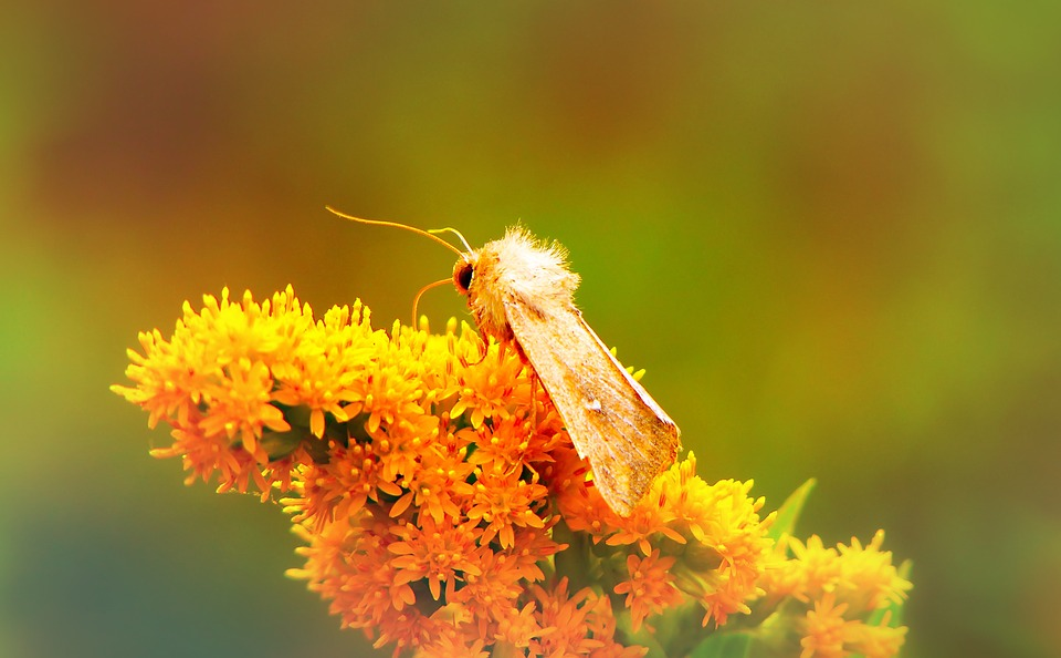 Piętnówka Mokradlica, A Moth, Antennae, Flower