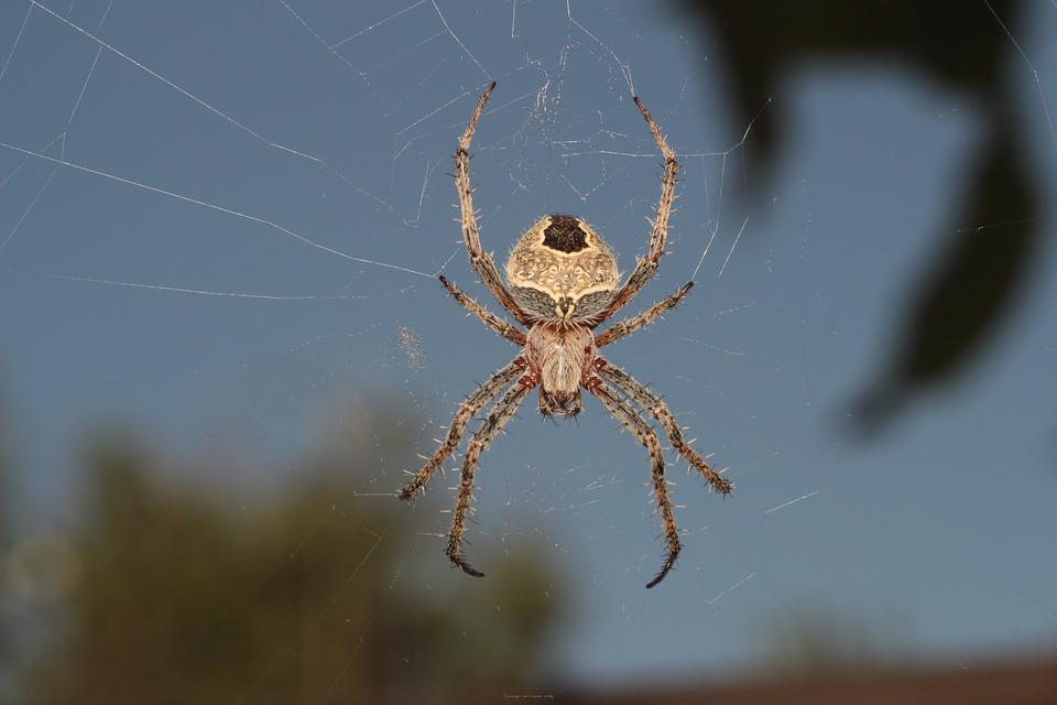 Spider, A Spider-like Insect, Spider Web, Trap, Phobia