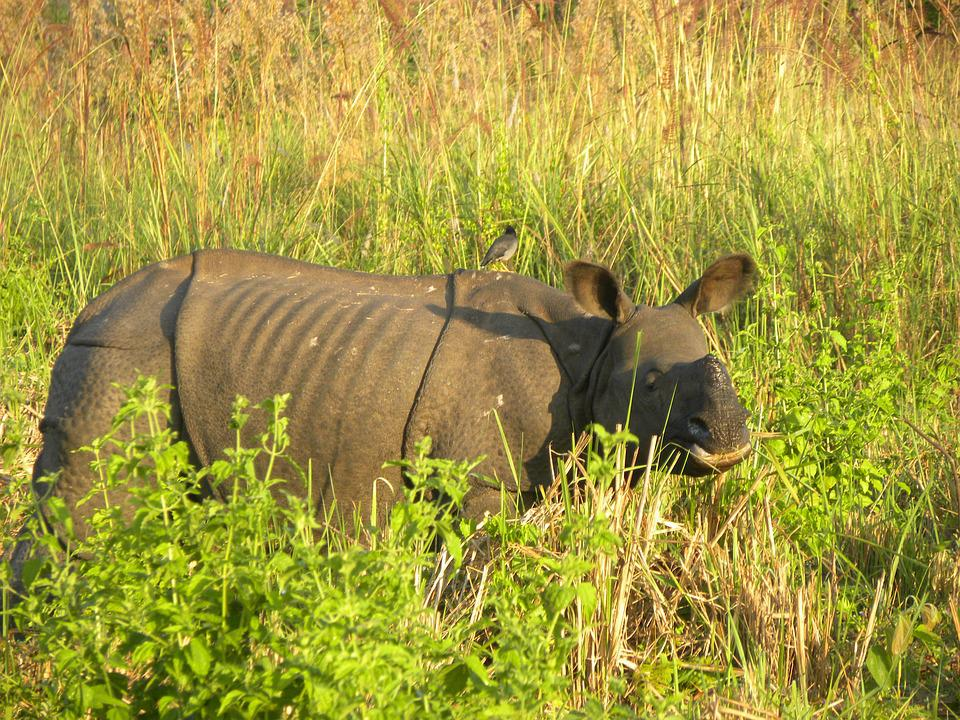 A Sub-adult Male, Indian Rhino, Manas National Park