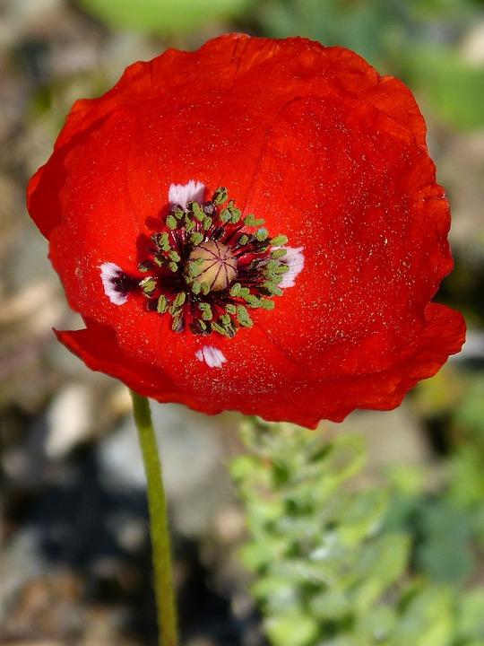 Poppy, Ababol, Flower, Spring, Beauty, Red