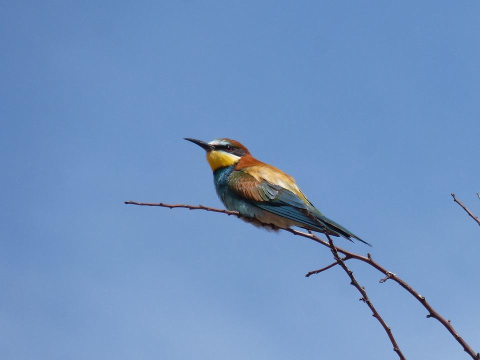 Bird, Bee-eater, Abellerol, Merops Apiaster, Branch