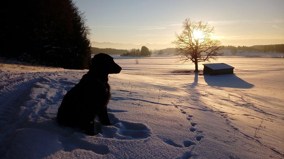 Dog, Retriever, Black Flat, Abendstimmung, Winter