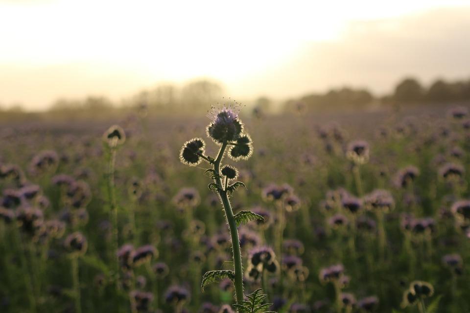 Sunset, Bees, Phacelia, Field, Abendstimmung