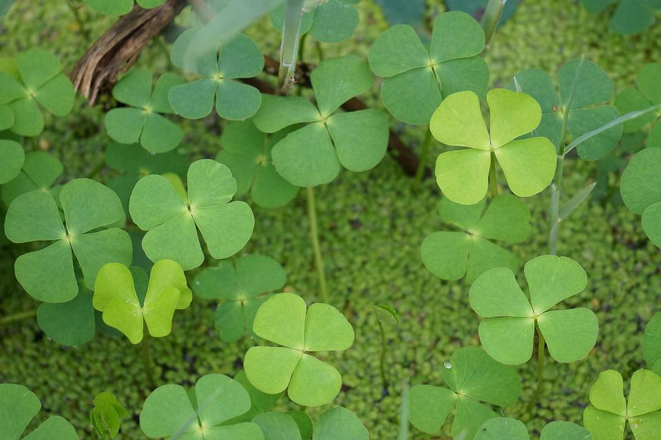 Good Luck, Four Leaf Clover, Plants, Abstract