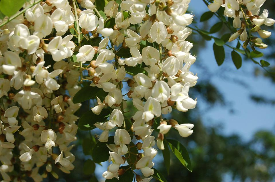 Free Photo Acacia Flower Nature Robinia Tree Max Pixel