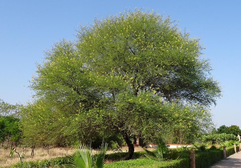 Babul, Tree, Acacia Nilotica, Vachellia Nilotica