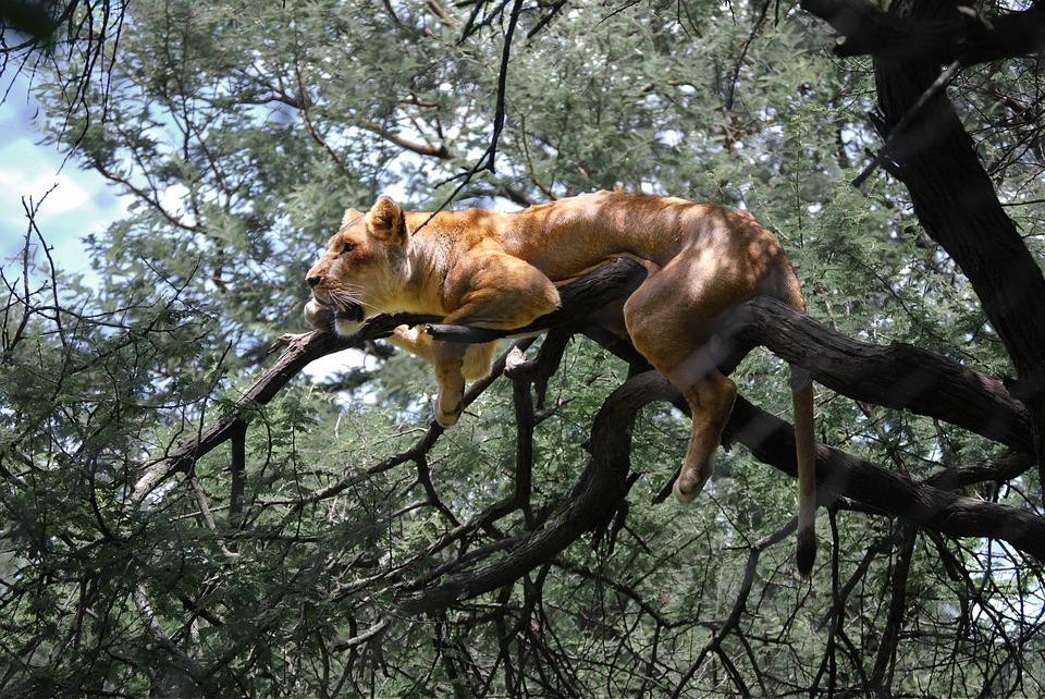 Lion, Zimbabwe, Africa, Lioness, Tree, Acacia