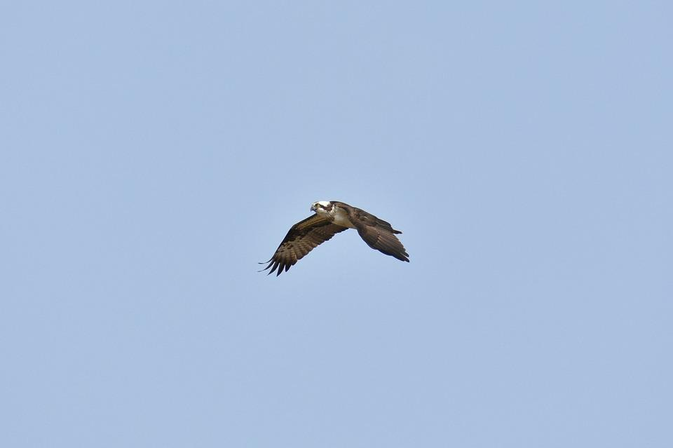 Animal, Sky, Bird, Wild Birds, Account, Osprey