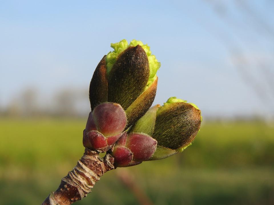 Acer Platanoides, Norway Maple, Buds, Macro, Tree, Twig