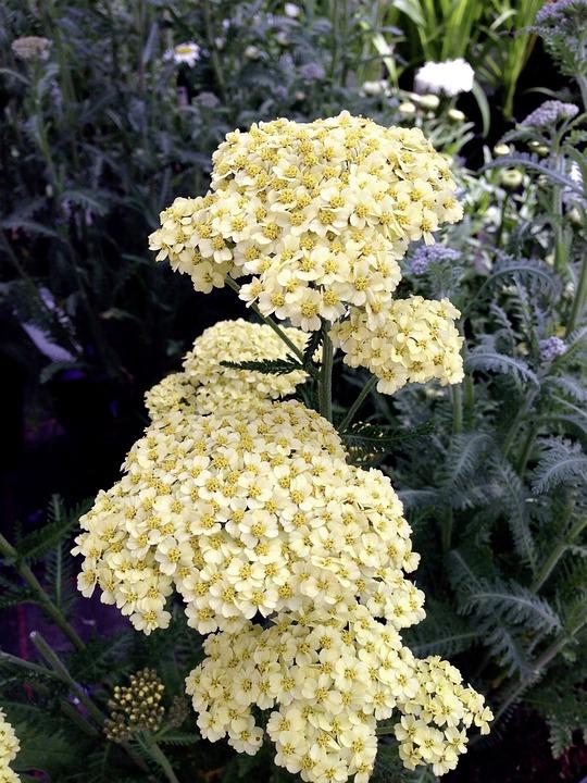 Achillea Millefolium, Yarrow, Yellow, Blossom, Bloom