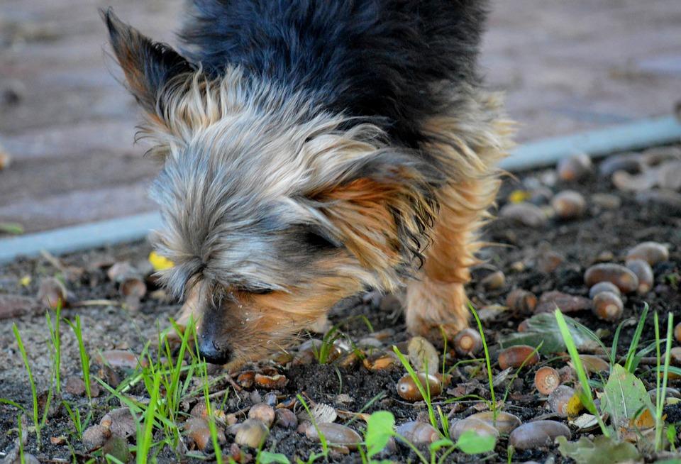 Yorkshire, Dog, Walk, Acorns, Autumn