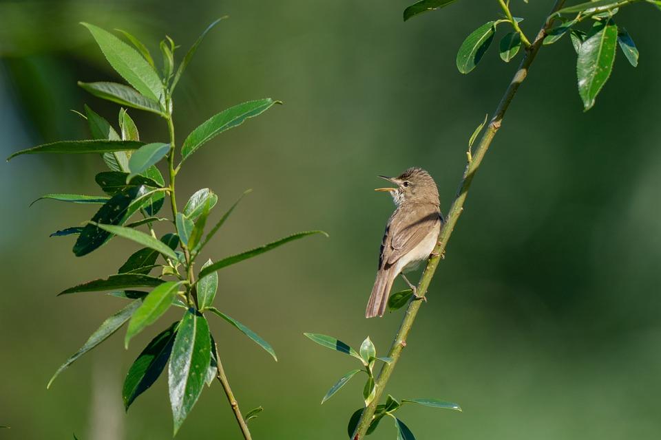 Blyth's Reed Warbler, Acrocephalus Dumetorum, Bird