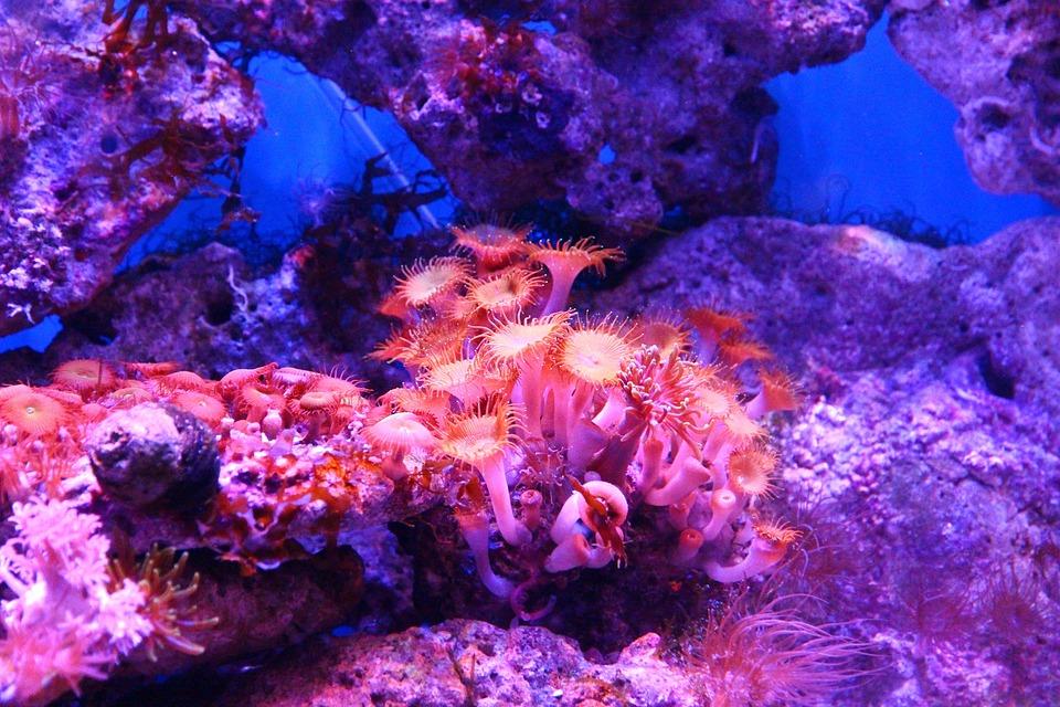 Free photo Actinium Polyp Coral Sea Anemone Aquarium Anemone