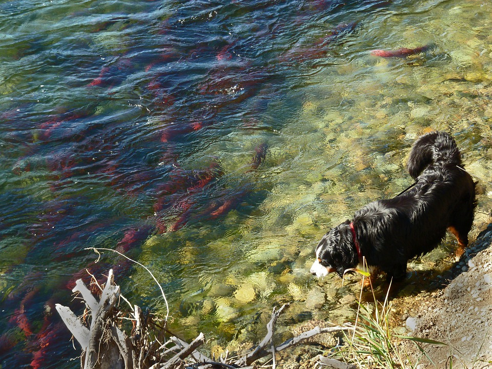 Sockey Salmon, Run, Fish, Adams River, Water
