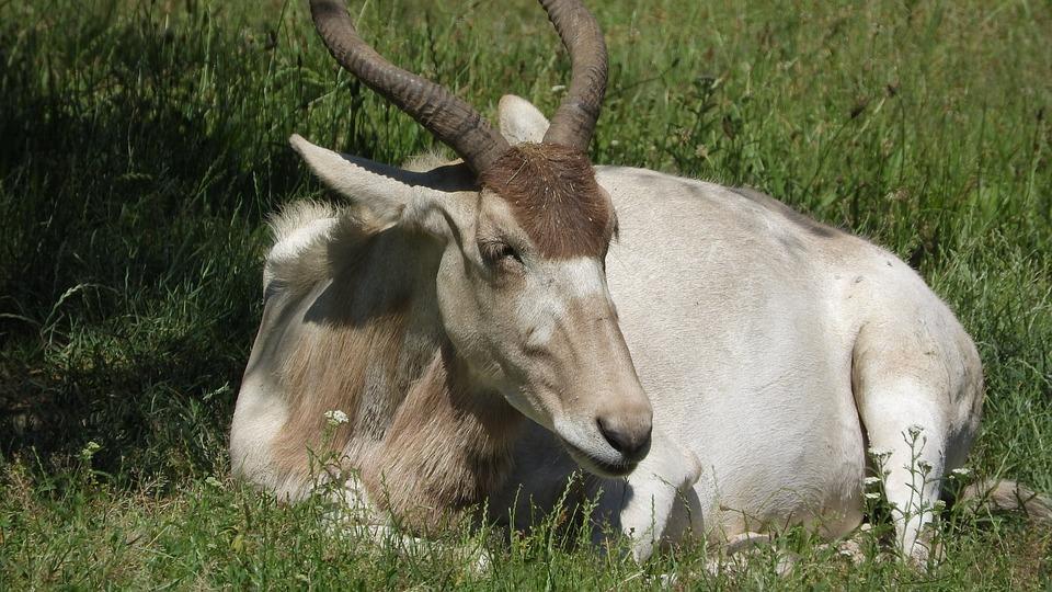 Addax, Addax Nasomaculatus, The Antelope, Long Horns