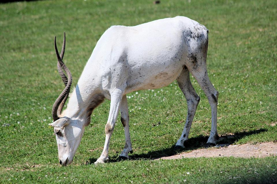 Addax, The Antelope, Nubian, Wild Ginger, Mammal