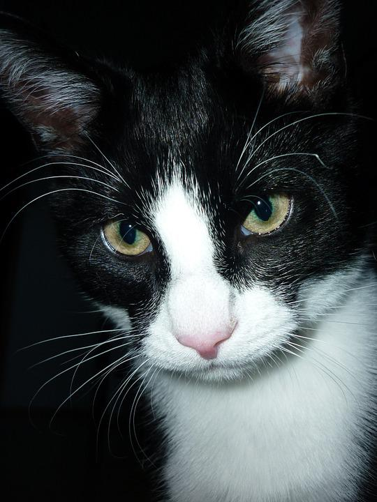 Cat, Close, Domestic Cat, Head, Cat Face, Adidas