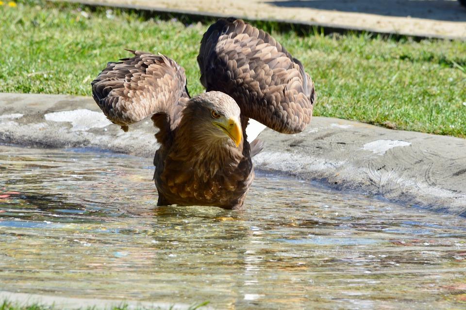 Golden Eagle, Adler, Bird, Bird Of Prey, Close Up