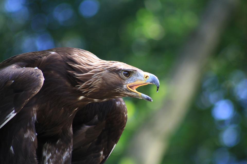 Adler, Raptor, Air, Bird, Griffin, Nature, Bird Of Prey