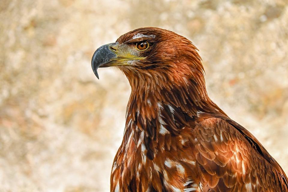 Of Prey Eagle, Savannah Eagle, Adler, Bird