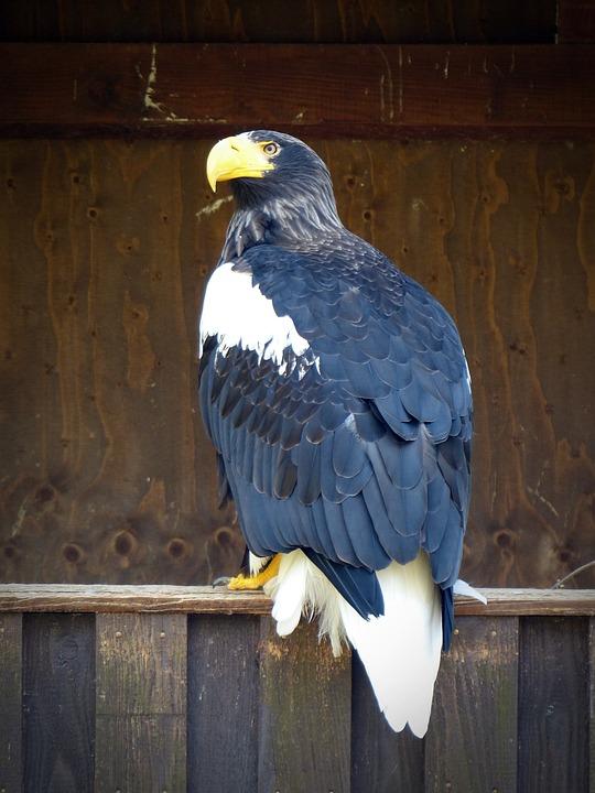 Giant Eagle, Adler, Bird, Bird Of Prey, Raptor, Nature