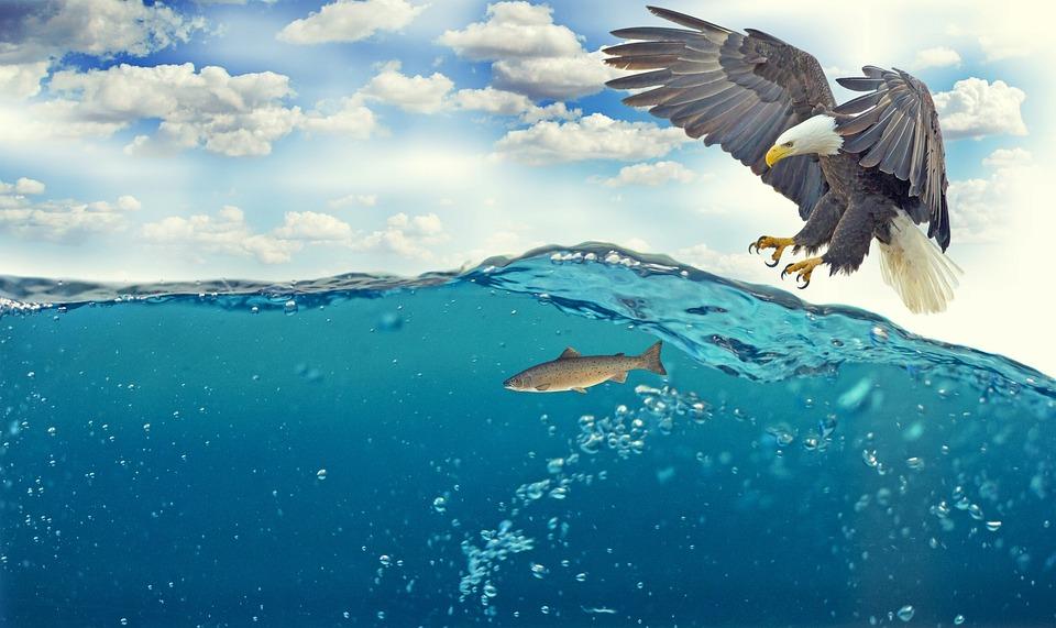 White Tailed Eagle, Adler, Bald Eagle, Raptor, Fly