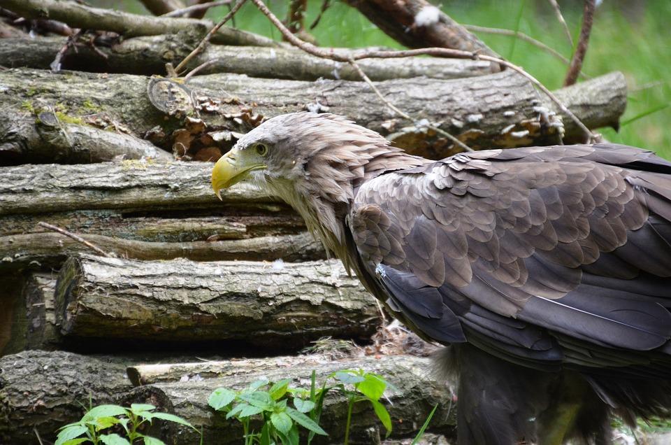 Adler, Forest, Eco-park, Güstrow