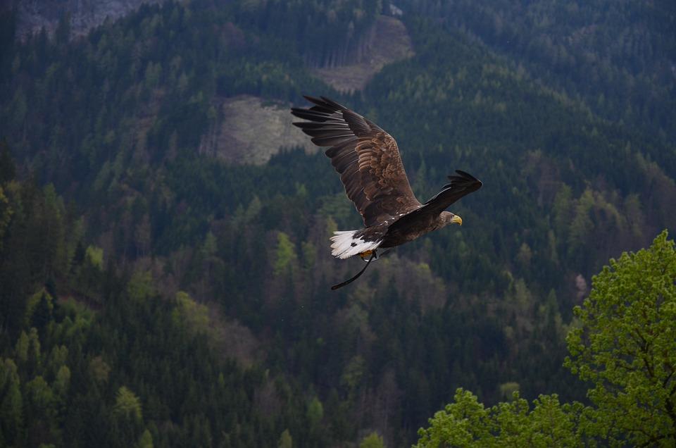 Adler, Bird, Bird Of Prey, Raptor, Heraldic Animal