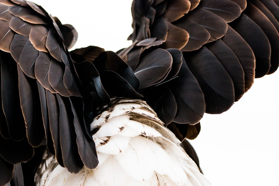 Plumage, Bald Eagle, Haliaeetus Leucocephalus, Adler
