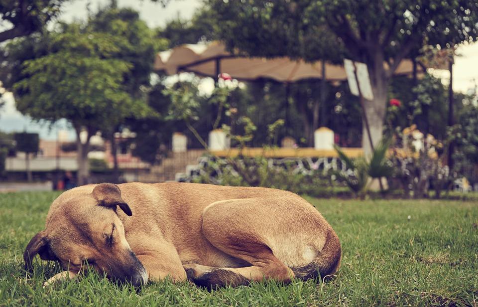 Siesta, Dog, Sleep, Animals, Pet, Naps, Adorable, Rest
