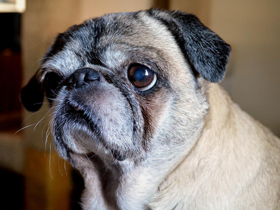 Dog, Pug, Animal, Pet, Cute, Adorable, Canine, Breed