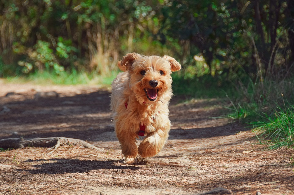 Dog, Puppy, Yorkie, Animal, Cute, Canine, Adorable
