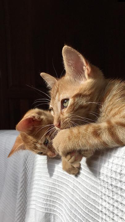 Cats, Kittens, Cute, Pet, Feline, Adorable, Animals