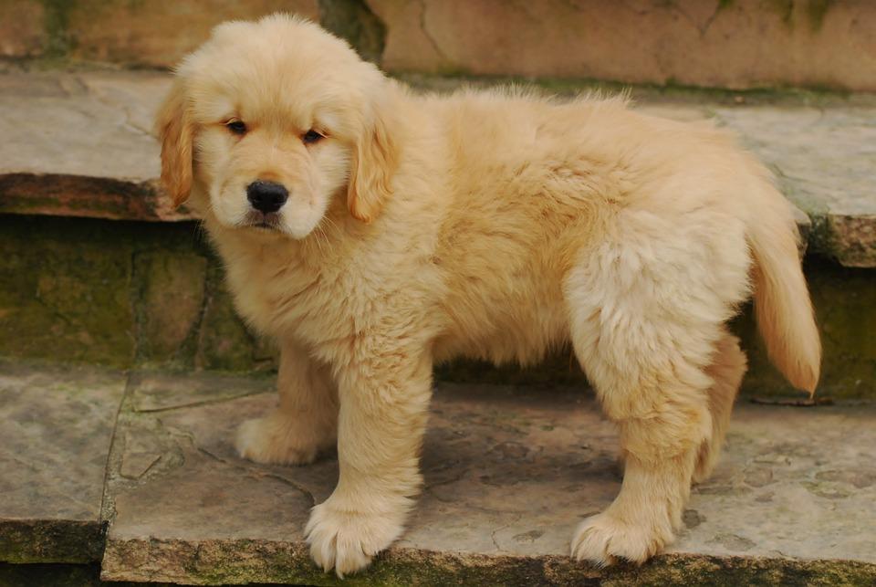 Adorable, Golden Retriever, Canine, Cute, Animal, Breed