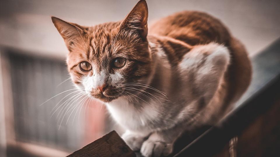 Cat, Feline, Animal, Pet, Portrait, Kitten, Adorable