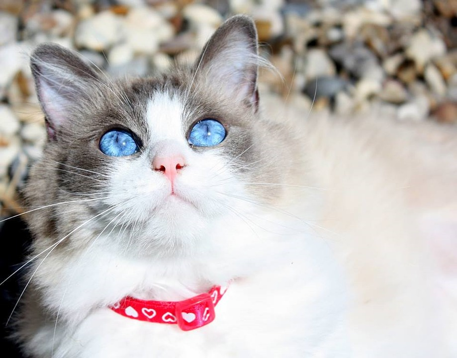 Cat, Ragdoll Cat, Purebred, Adorable, Eyes, Face, Pink