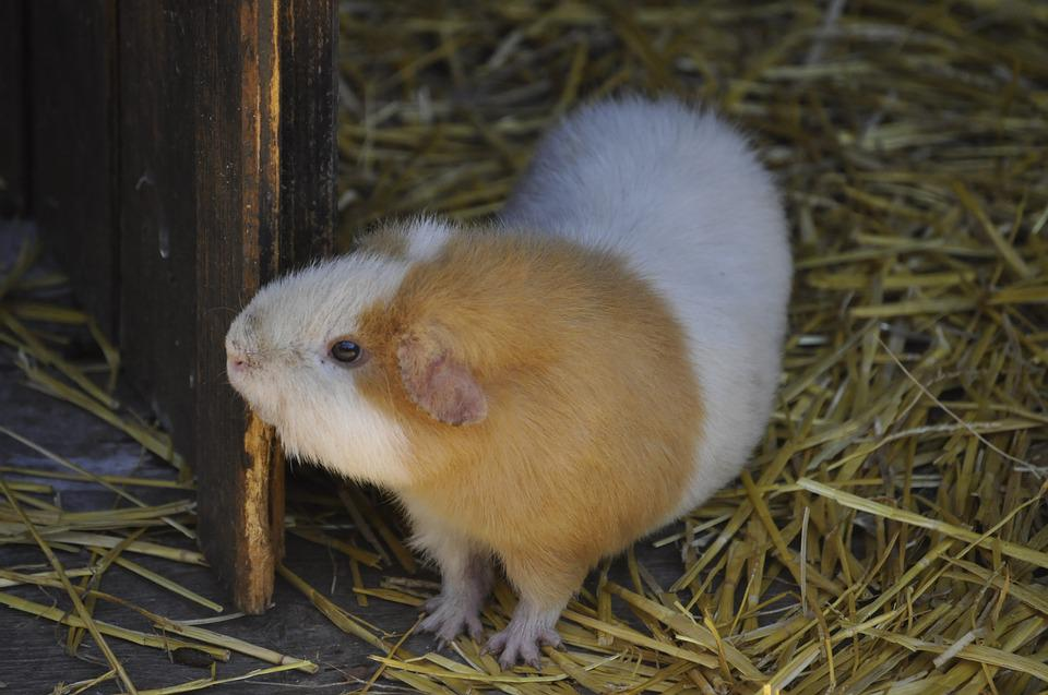 Animal, Cavy, Rodents, Cute, Adorable, Small, Pig