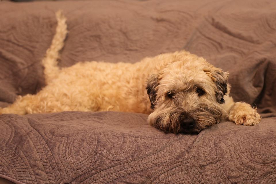 Dog, Sofa, Portrait, Domestic, Pet, Adorable, Brown Dog