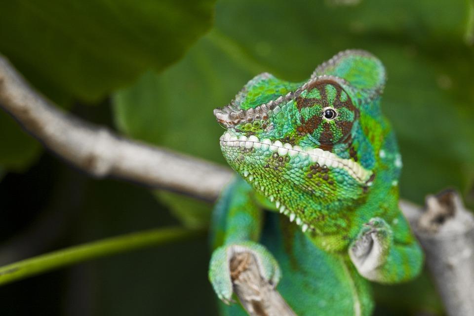 Chameleon, Meeting, Adult